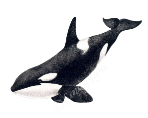 Smiling Orca
